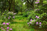 Woodland deer hunting grounds of Benmore Estate at Knock with invasive Rhododendron Ponticum on Isle of Mull Inner Hebrides Scot