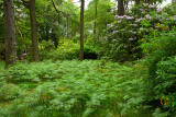 Woodland trees of Benmore Estate at Knock with bracken fern and invasive Rhododendron Ponticum on Isle of Mull Inner Hebrides Sc