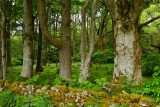 Woodland trees of Benmore Estate at Knock with bracken and Rhododendron on Isle of Mull Inner Hebrides Scotland UK