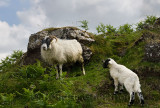 Scottish Blackface sheep lamb and mother with bracken on a hillside at Lach Na Keal on Isle of Mull Scotland UK