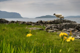 Scottish Blackface sheep mother and nursing lamb at the shore of Lach Na Keal with Eorsa Island on Isle of Mull Inner Hebrides S