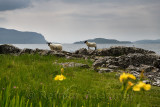 Scottish Blackface sheep lamb and mother shedding fleece at the shore of Lach Na Keal with Eorsa Island on Isle of Mull Scotland