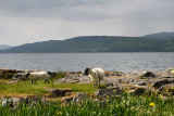 Scottish Blackface sheep lamb and mother shedding fleece at the shore of Lach Na Keal on Isle of Mull Scotland UK with yellow fl