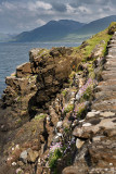 Cliff at Highway B8035 with Sea Thrift flowers on Loch Na Keal on the Isle of Mull with Beinn a Ghraig mountain Scotland UK