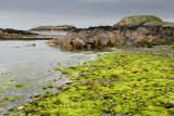 Bright green string algae on rocks at shore of The Bay at the Back of the Ocean The Machair on Isle of Iona Inner Hebrides Scotl