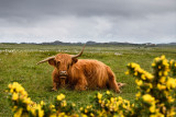 Highland Cattle with crooked horns lying in a field on the Ross of Mull Isle of Mull with yellow Scotch Broom Scotland UK