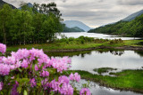 Rhododendron flowers and visitor on River Leven at the Head of Loch Leven in Kinlochleven with Pap of Glencoe sugarcone and Mamo
