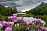 Pink Rhododendron flowers on River Leven at the Head of Loch Leven in Kinlochleven with Pap of Glencoe sugarcone and Mam na Gual