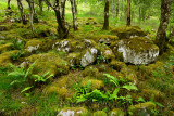 Moss covered rocks in birch tree forest at the foot of Ben Nevis Mountain at Steall Gorge Scottish Highlands Scotland UK