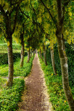 Path at Row of Golden Chain Laburnum trees with hanging yellow flowers in the rain at the Walled Garden of Cawdor Castle Scotlan