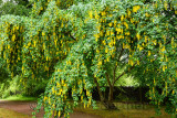 Pendulous yellow pea flowers of the poisonous Golden Chain Laburnum tree in the rain on the grounds of Cawdor Castle Scotland UK
