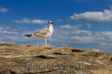 Juvenile Great black-backed gull Larus marinus on rock wall at Crail Harbour Scotland UK with blue sky and clouds