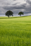 Dark clouds over rolling field of unripe green wheat crop with two trees on Highway B6460 near Duns Scottish Borders Scotland UK