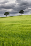 Dark clouds over rolling field of green wheat crop with two trees on Highway B6460 near Duns Scottish Borders Scotland UK