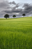 Dark clouds over rolling field of green wheat crop with three trees on Highway B6460 near Duns Scottish Borders Scotland UK