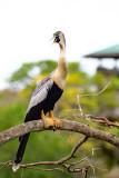Anhinga (Female)