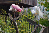 CHOREOGRAPHED - Roseate Spoonbill & Great Egret
