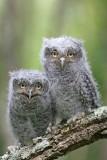 Eastern Screech Owl Babies