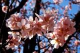 Almond flowers in the vineyard