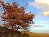 an oak in the vineyard