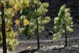 pine trees growing on volcanic rock