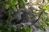 Hawksbill turtle laying eggs.jpg