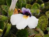 Mazaceae