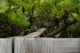 Lizard in Aruba