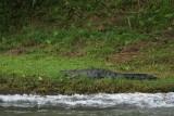 Panama crocodile