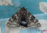 Blåbandat ordensfly / Blue Underwing (Catocala fraxini)