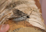 Åkervindesvärmare - Convolvulus hawkmoth (Agrius convolvuli)