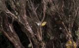 Orangestrupig skogssångare - Blackburnian Warbler (Dendroica fusca)