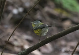 Birdtrip to the Azores 2017