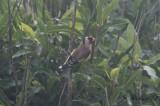 Steglits - Goldfinch (Carduelis carduelis)