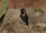 Stare - Common Starling (Sturnus vulgaris granti)