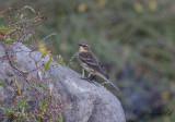 Gulgumpad skogssångare - Myrtle Warbler (Setophaga coronata coronata)