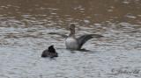 Ringand - Ring-necked Duck (Aythya collaris)