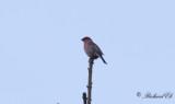 Tallbit - Pine Grosbeak (Pinicola enucleator)