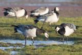 Vitkindad gås - Barnacle Goose (Branta leucopsis)