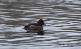 Vitögd dykand - Ferruginous Duck (Aythya nyroca)