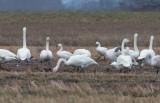 Mindre sångsvan - Bewick´s Swan (Cygnus columbianus)