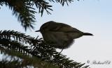 Bergtaigasångare - Hume's Leaf Warbler (Phylloscopus humei)