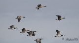 Goose mix (Pink-footed, Greater white-fronted & Barnacle goose)