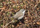Ärtsångare - Lesser whitethroat (Sylvia curruca)