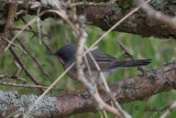 Rödstrupig sångare - Subalpine Warbler (Sylvia cantillans)