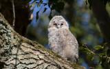 Kattuggla - Tawny Owl (Strix aluco)