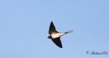 Ladusvala - Barn Swallow (Hirundo rustica)