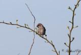 Pilfink - Tree Sparrow (Passer montanus)