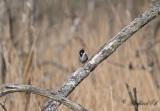 Sävsparv - Reed Bunting (Emberiza schoeniclus)