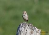 Ängspiplärka - Meadow Pipit (Anthus pratensis)